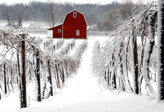 winter vineyards.jpg